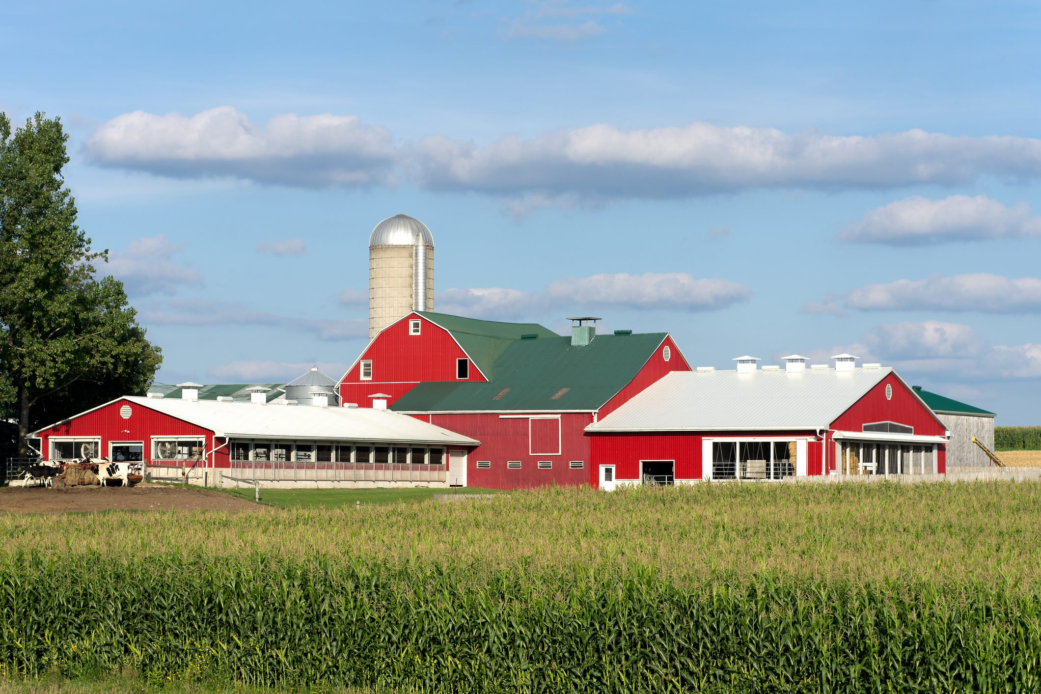 Red Dairy Barns by Corn Field