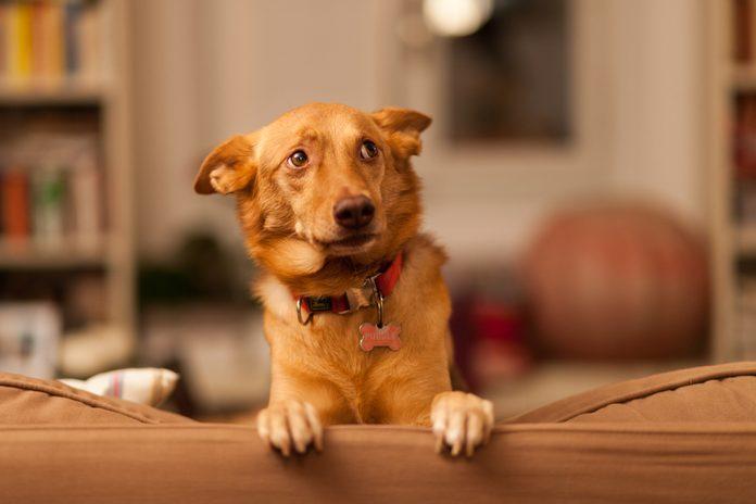 Close-Up Of Dog On Sofa