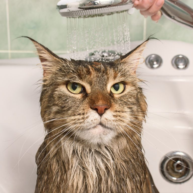 Wet cat in the bath