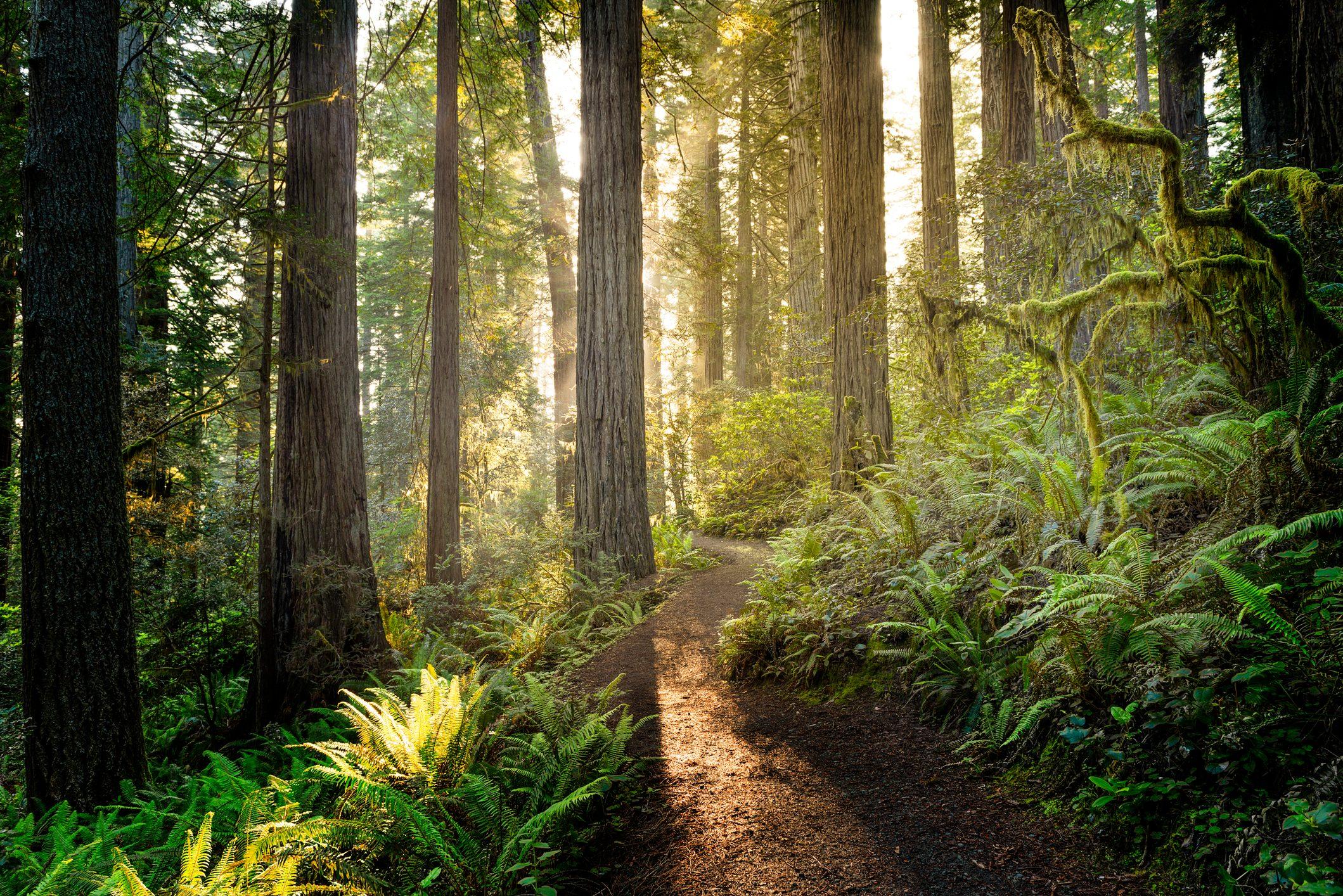 Sunrise in the redwoods