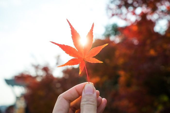Hand holding an autumn red maple leaf
