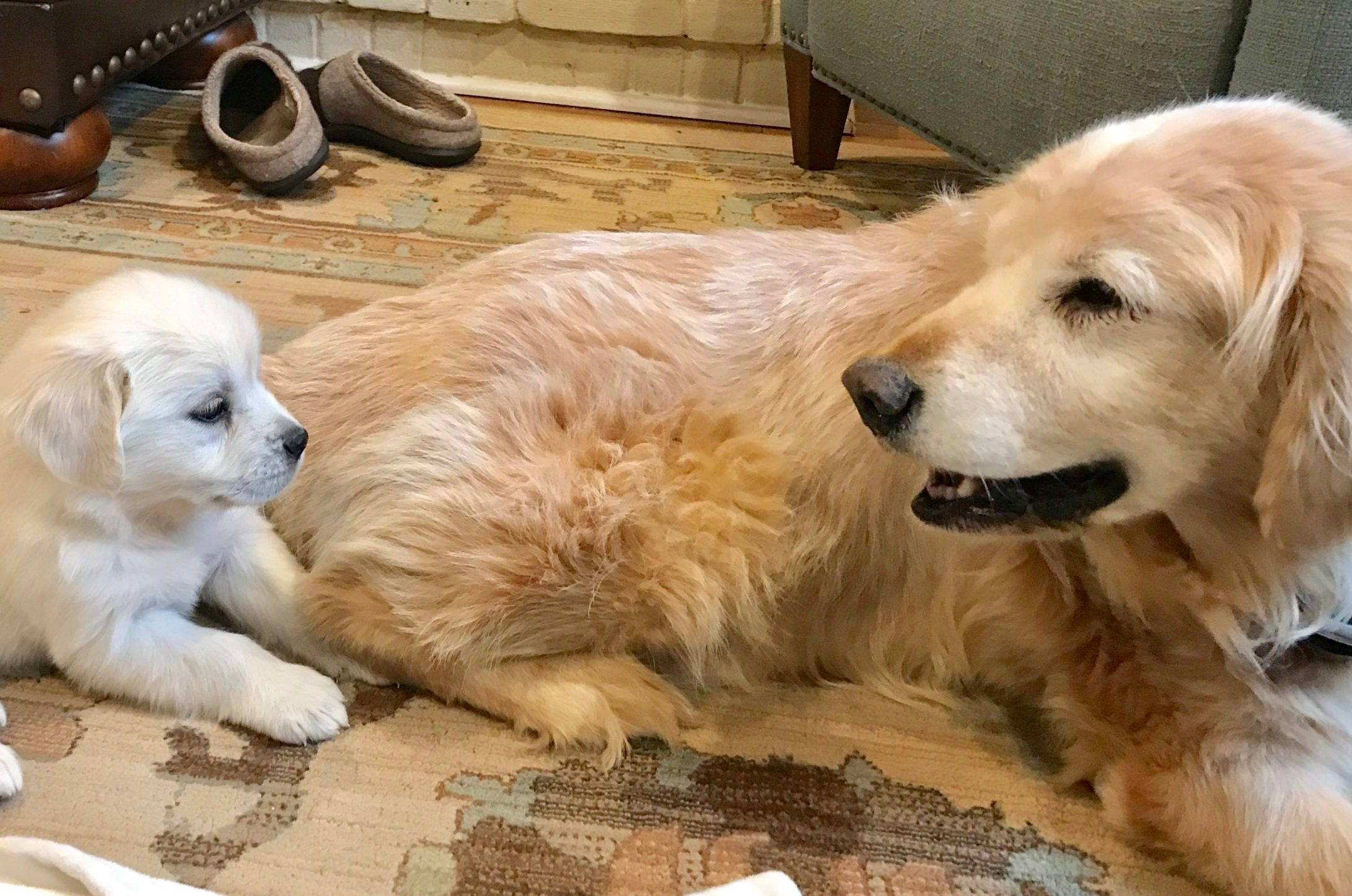 golden retriever retirement home