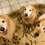 """Why I Opened a """"Retirement Home"""" for Senior Golden Retrievers"""