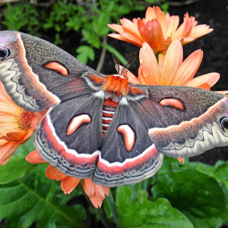 A cecropia moth perches on a gerber daisy.