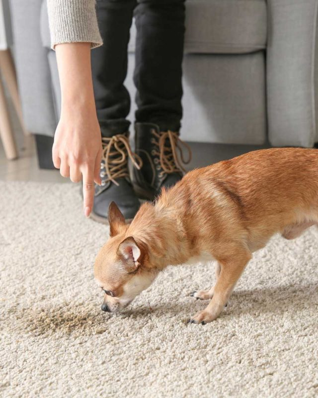 woman pointing to the carpet and dog sniffing spot