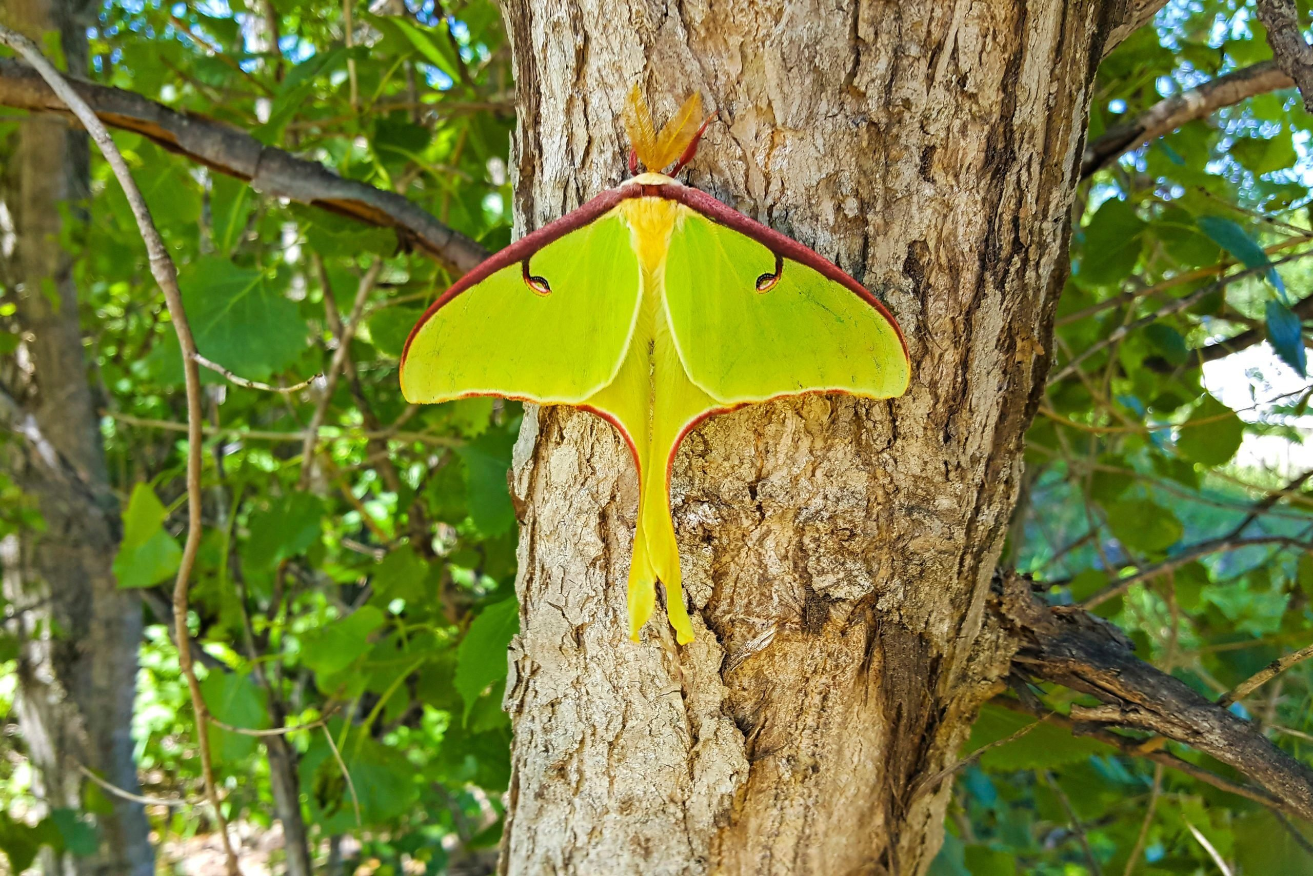 A luna moth rests on a tree.