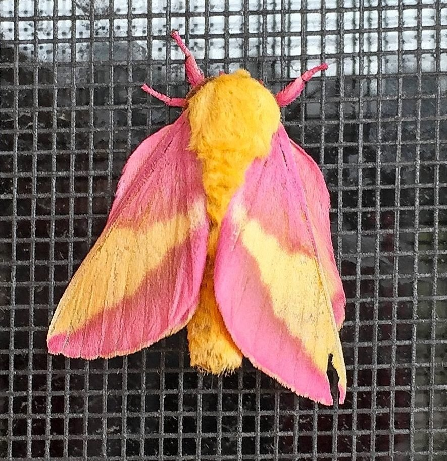 A rosy maple moth sitting on a wire grate.
