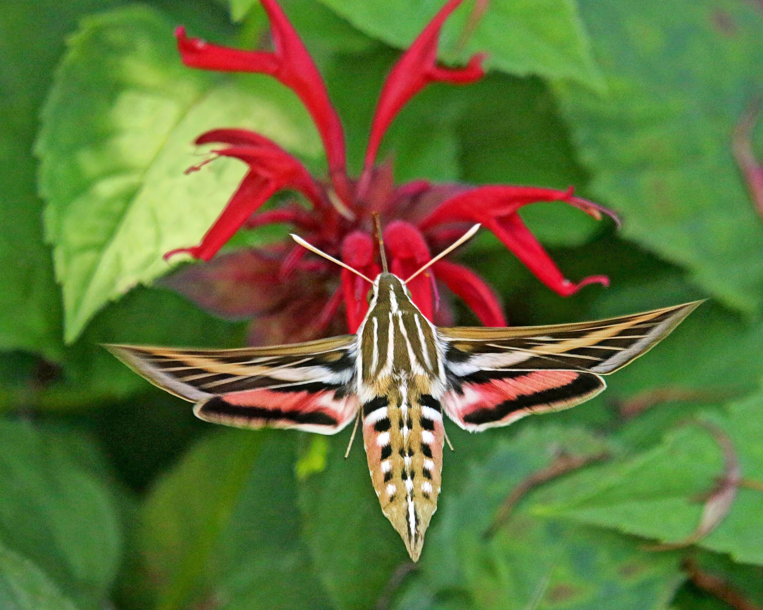 A white-lined sphinx moth sips nectar from a flower.