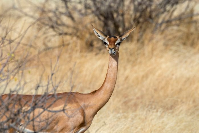 A Gerenuk (Litocranius walleri) in Samburu National Reserve...