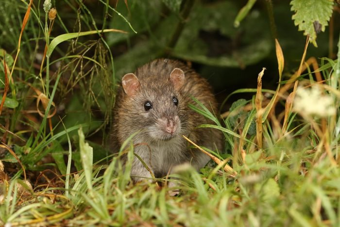 A wild Brown Rat, Rattus norvegicus, eating seads on the ground at the edge of a lake.
