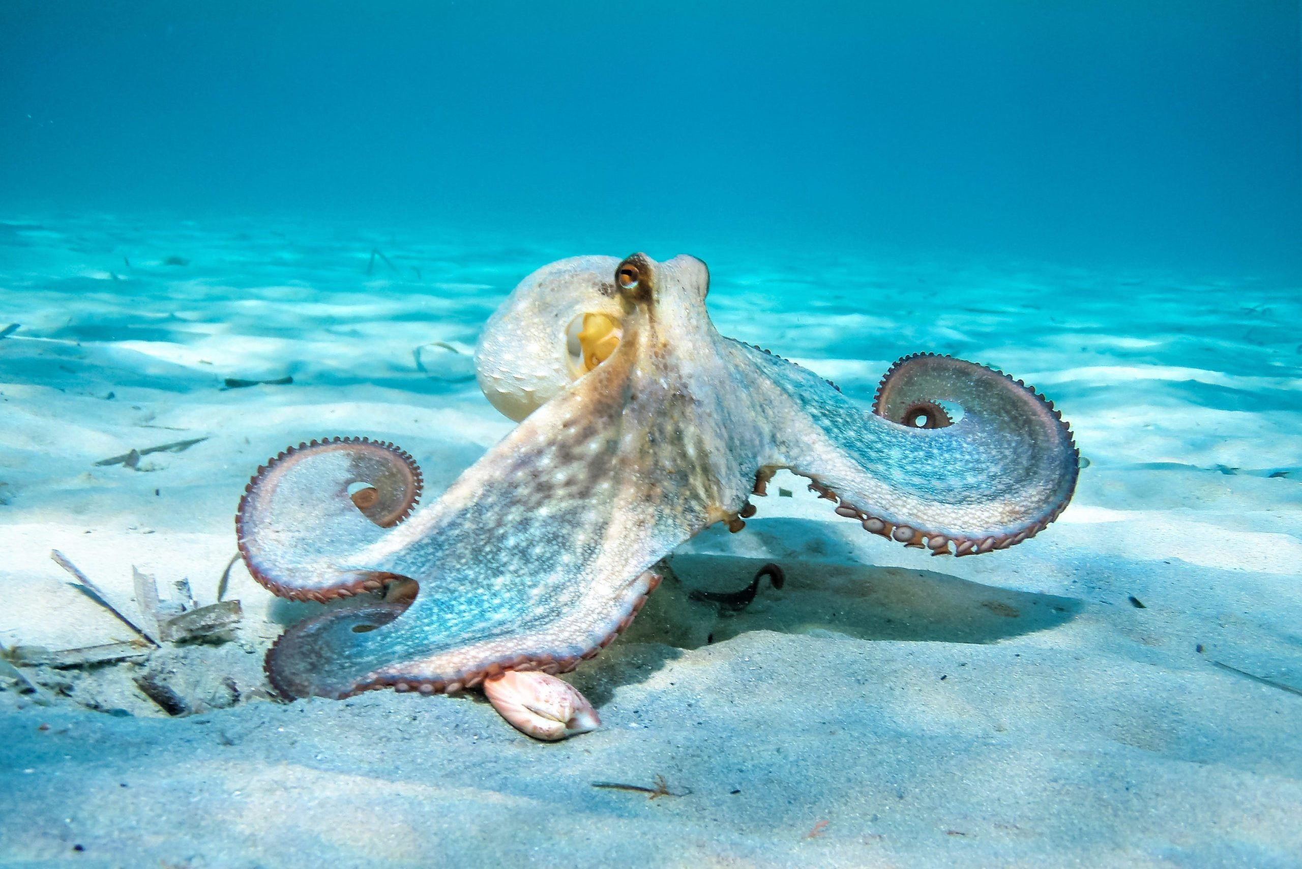 Octopus In Action