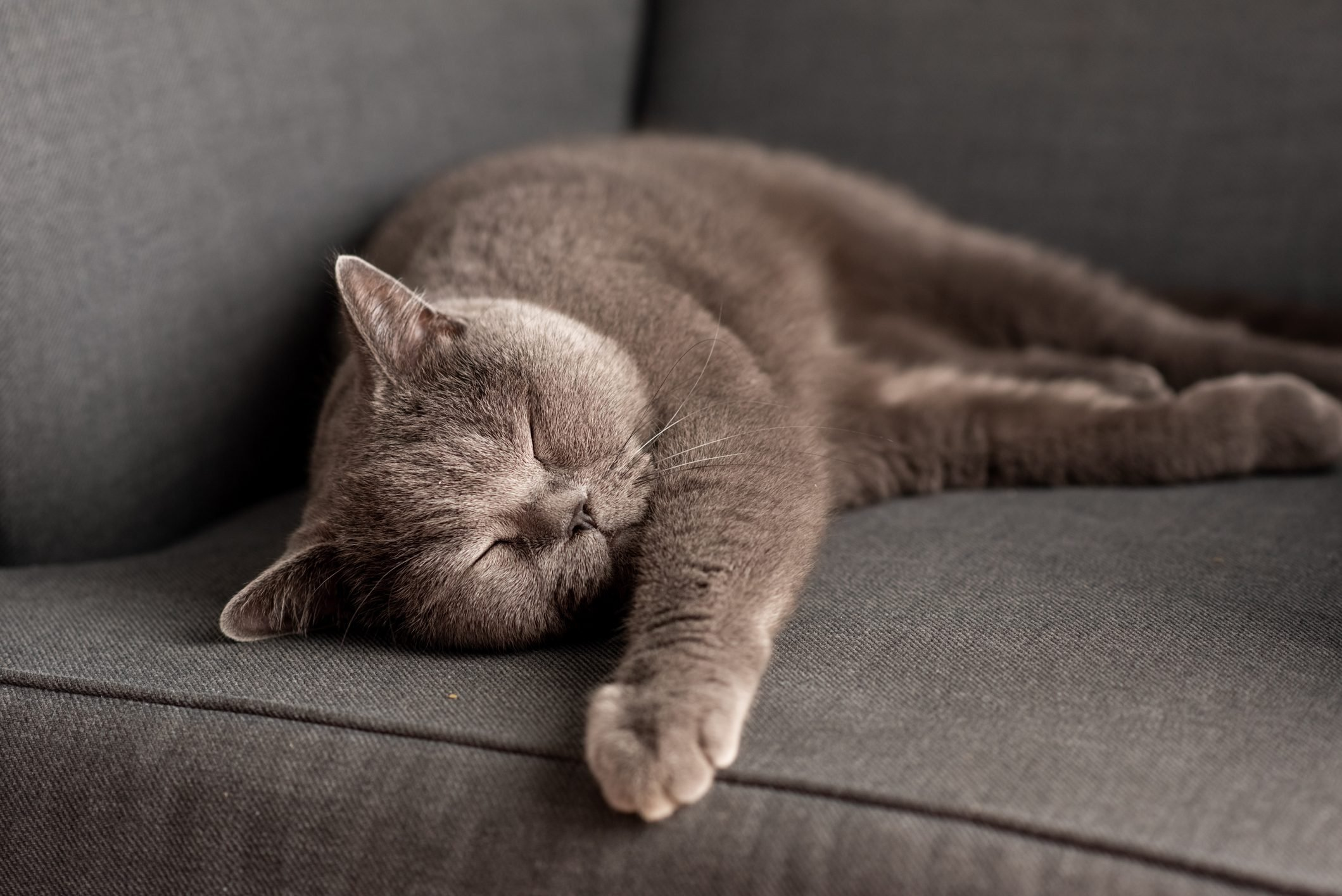 British Shorthair cat lying on white table. Copy-space