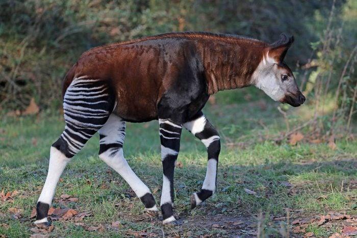 Okapi offspring in Cologne