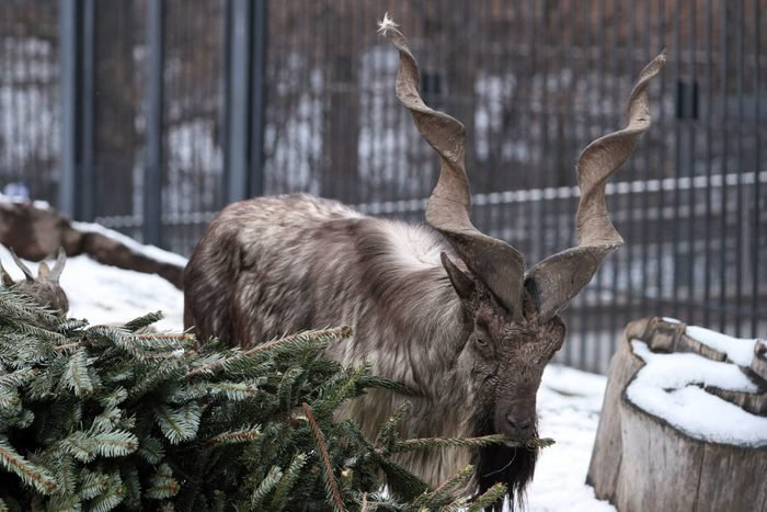 Moscow Zoo accepts unsold fir and pine trees