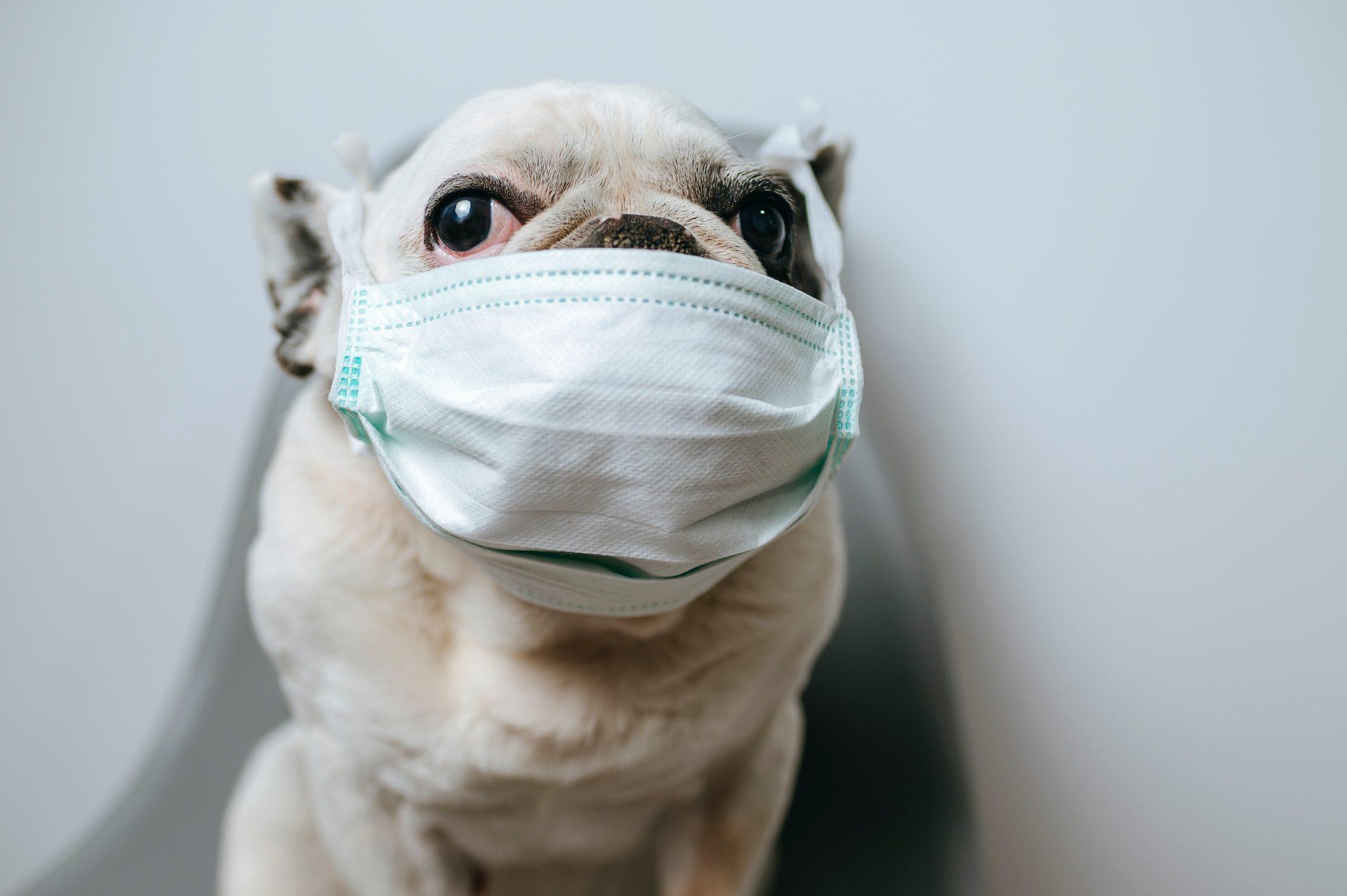 Dog with medical mask