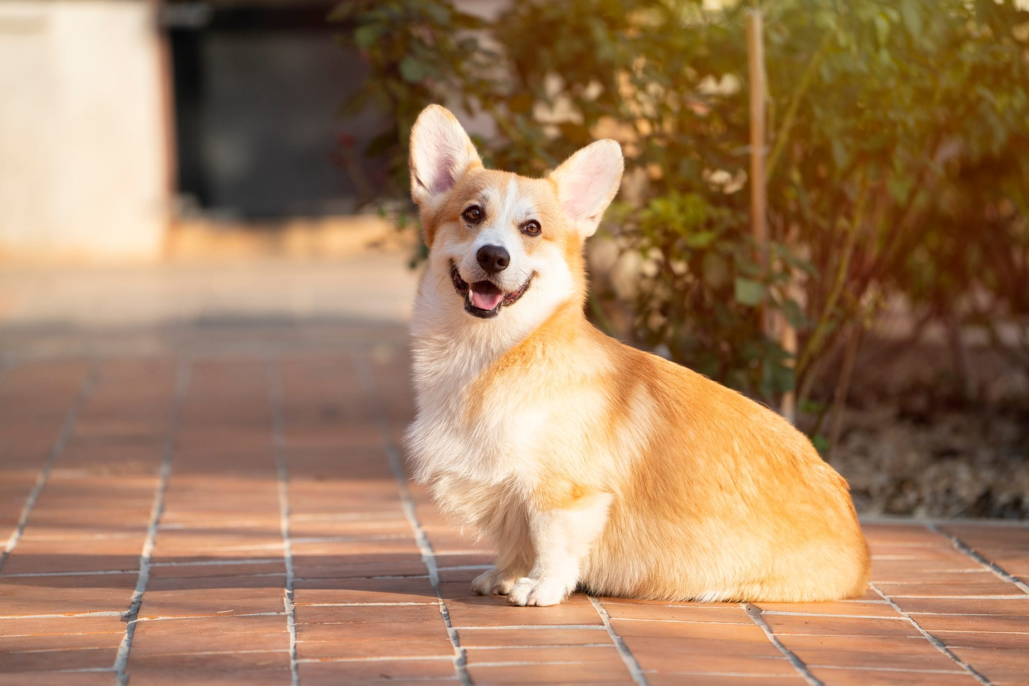 close up of corgi dog pet in summer sunny day