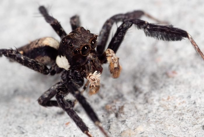 Macro Photo of Portia Jumping Spider on The Floor
