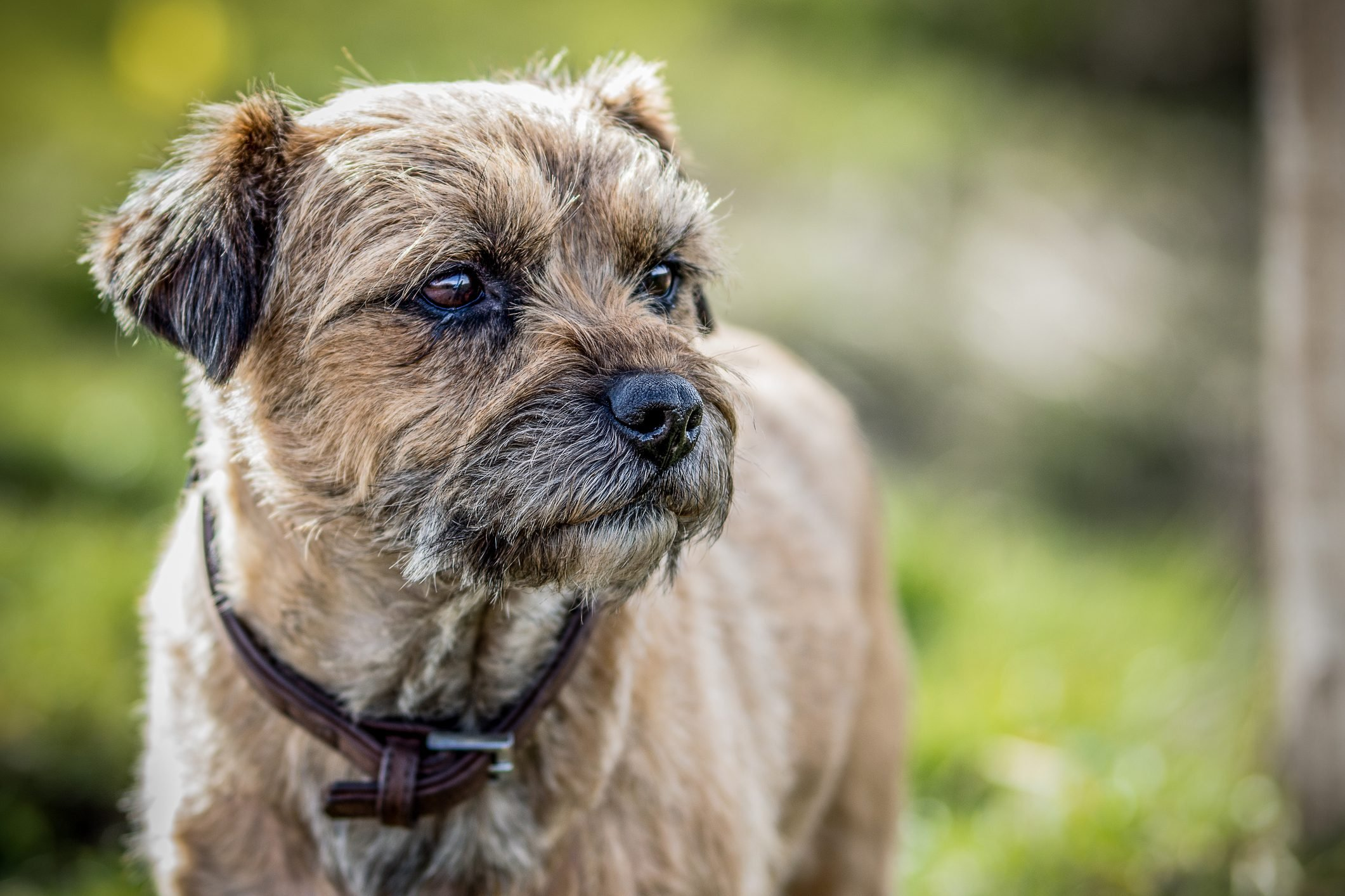 Close up of border terrier