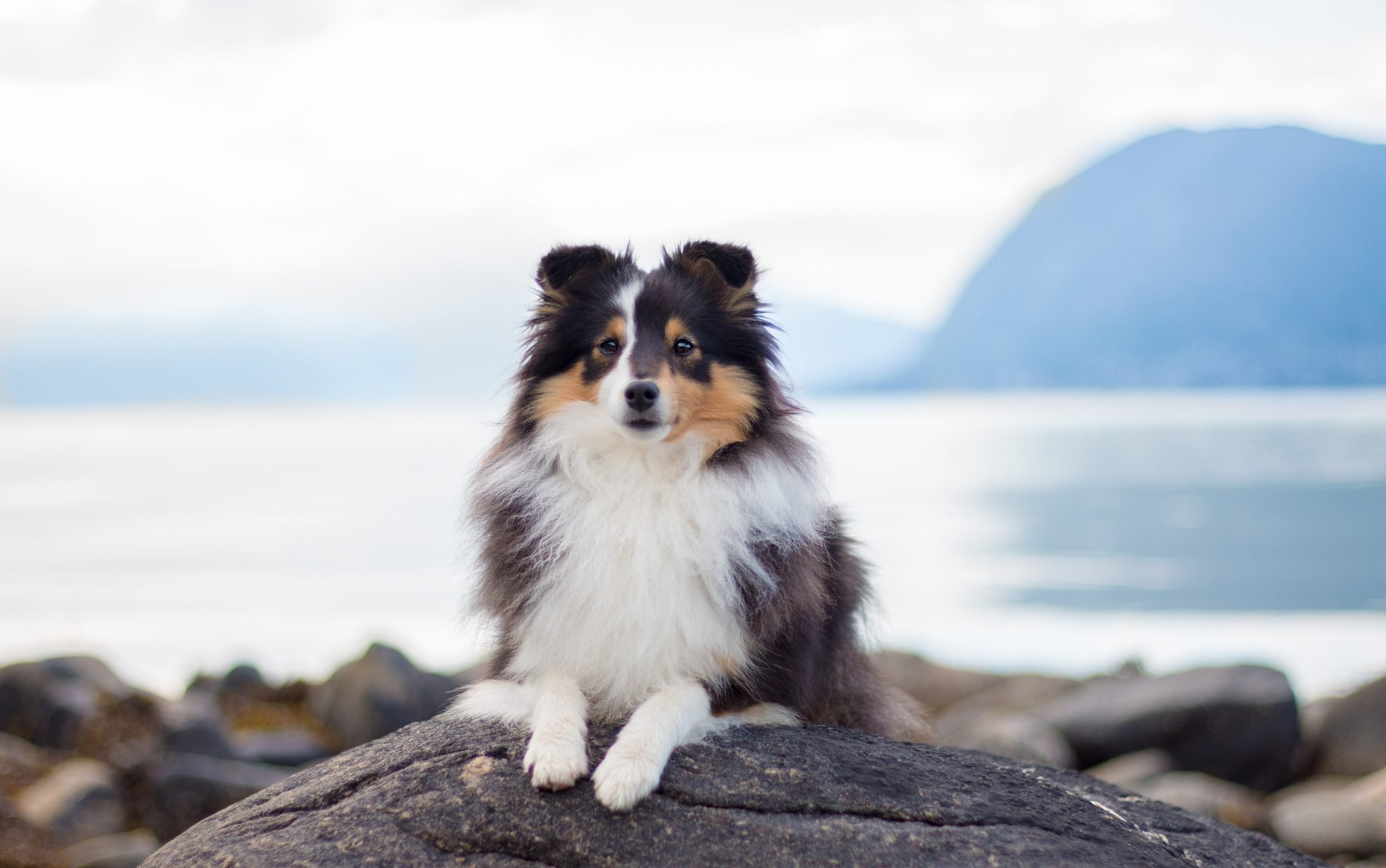 Close up portrait of Shetland sheepdog on beach