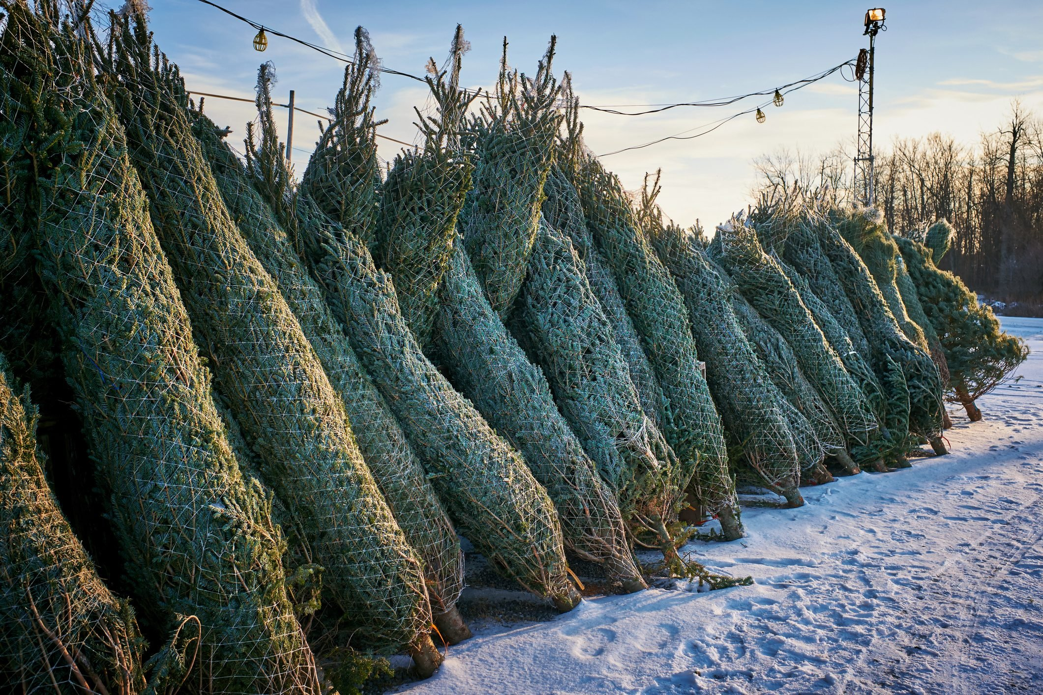 Bundles of fresh-cut spruce trees for sale at a Christmas tree lot at the beginning of winter, and the Holiday Season.