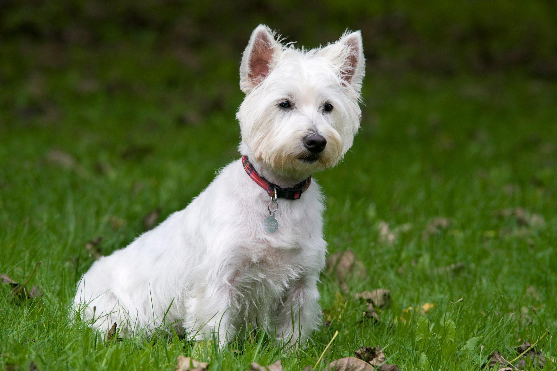 West Highland White Terrier Dog, UK, sitting in garden, cute, alert