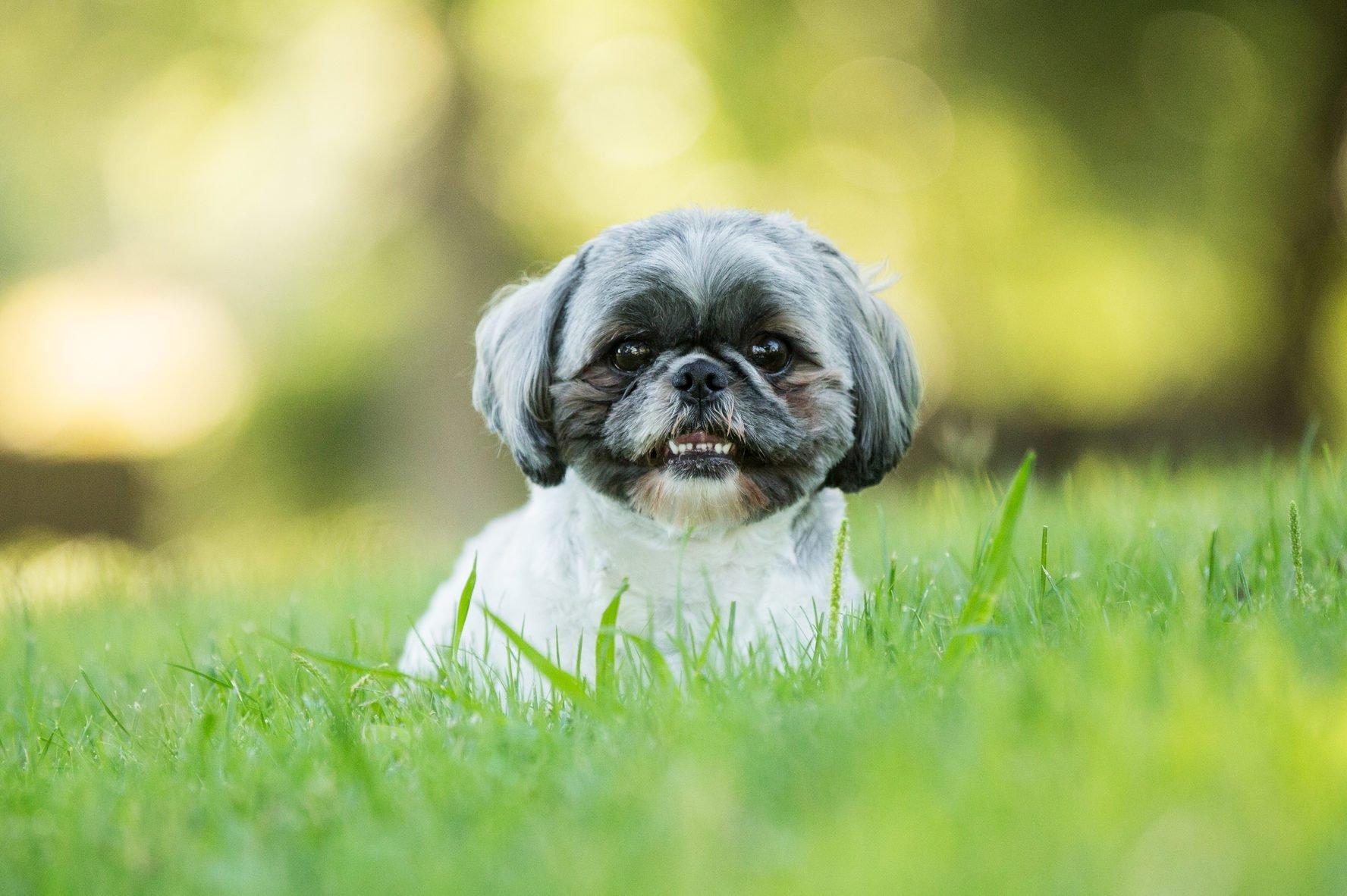 Smiling shih tzu dog laying down outdoors