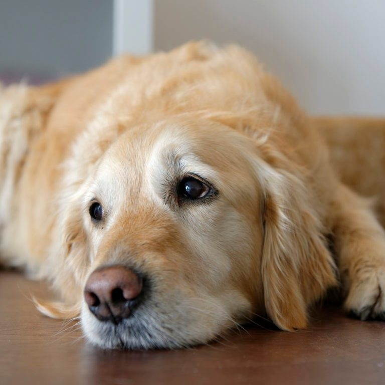 Tired Golden Retriever lying on wooden floor