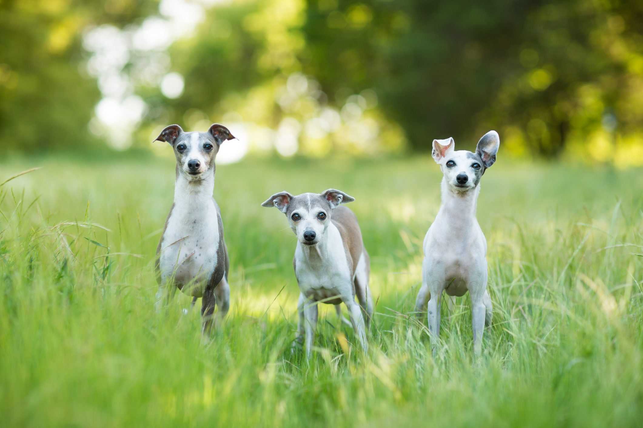 Trio of Curious Italian Greyhound Dogs Outdoors