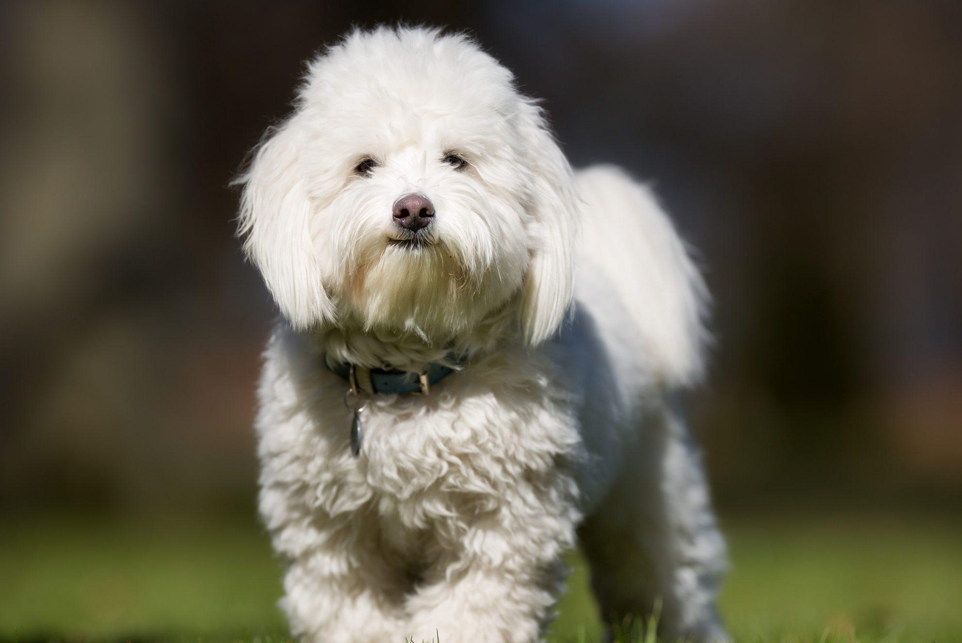 Coton de Tulear dog outdoors in nature