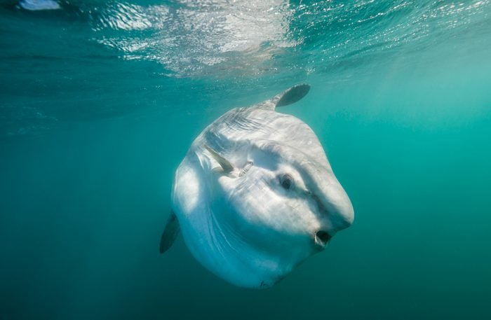 Oceanic sun fish swimming near the surface, east coast South Africa.