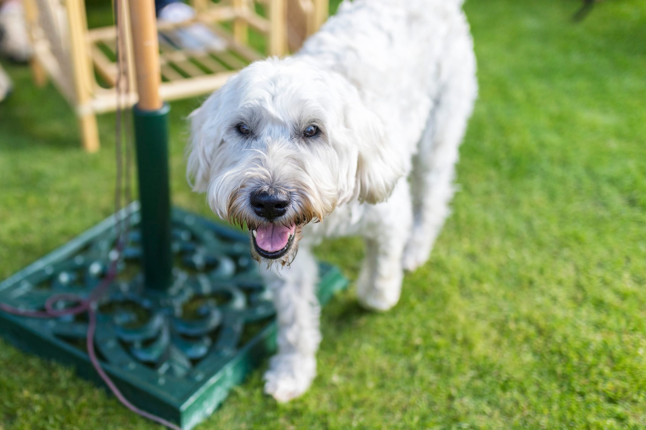 Beautiful and playful white haired Wheaten Terrier happily runs around a traditional English garden