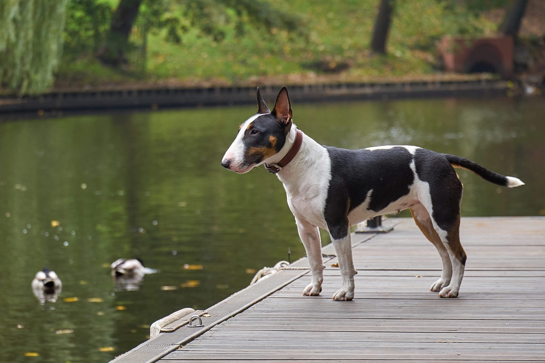 Bull terrier puppy dog on a wooden pier at a lake, copy space, detail with selected focus and narrow depth of field