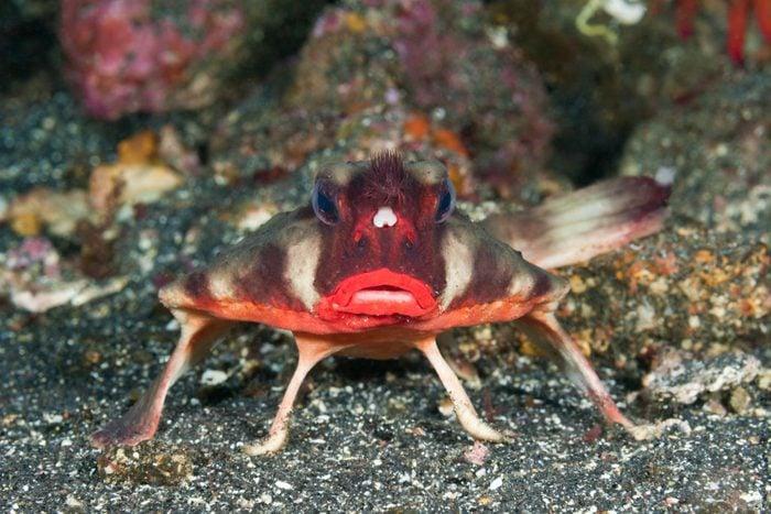 Red-lipped Batfish, Ogcocephalus darwini, Cabo Douglas, Fernandina Island, Galapagos, Ecuador