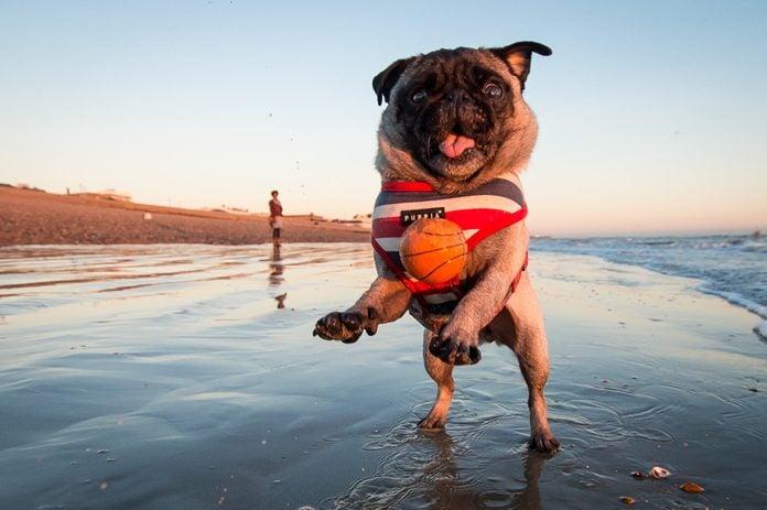 A jumping Pug at the beach