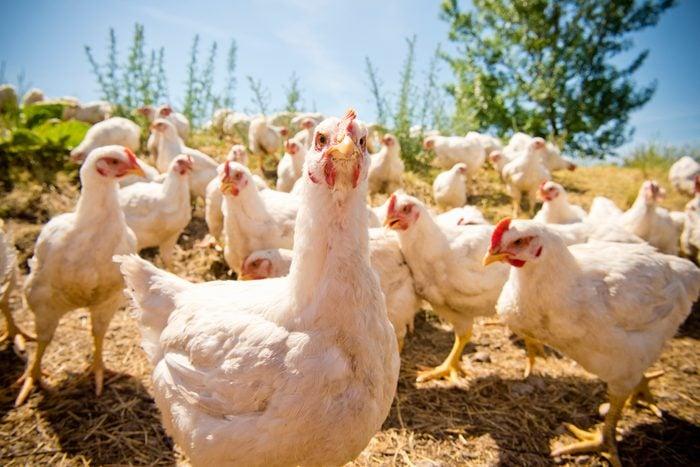 Portrait of free-range chickens at ground level