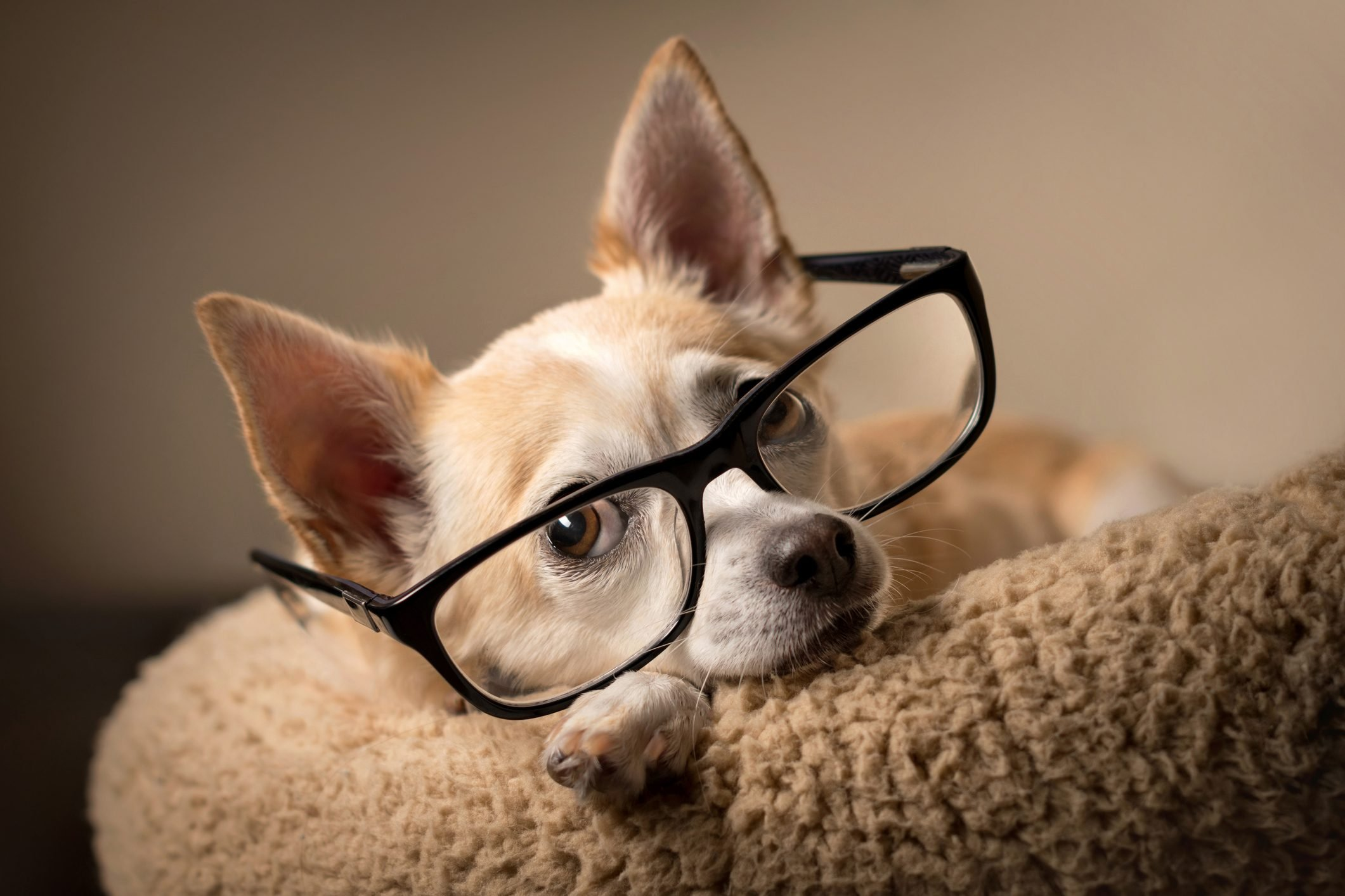 Chihuahua wearing reading glasses
