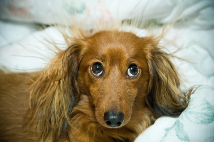Long haired dachshund with static electricity