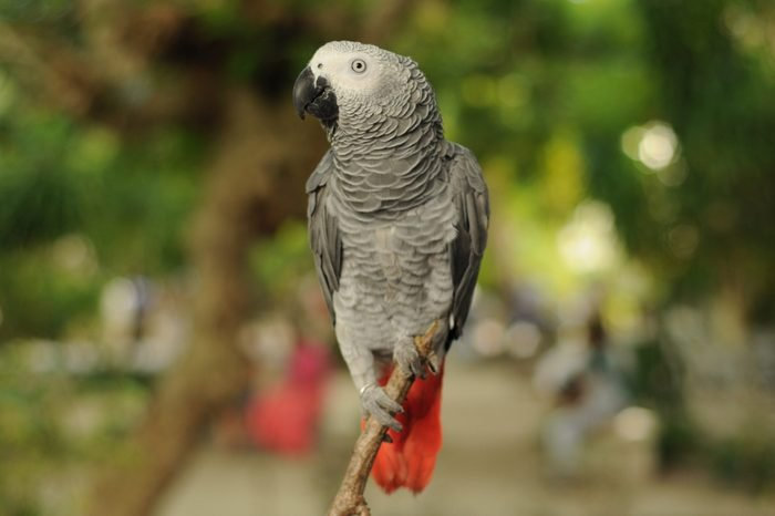 Africangrey (Parrot)