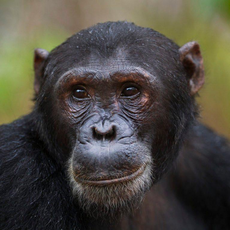Eastern chimpanzee male 'Fudge' aged 17 years portrait
