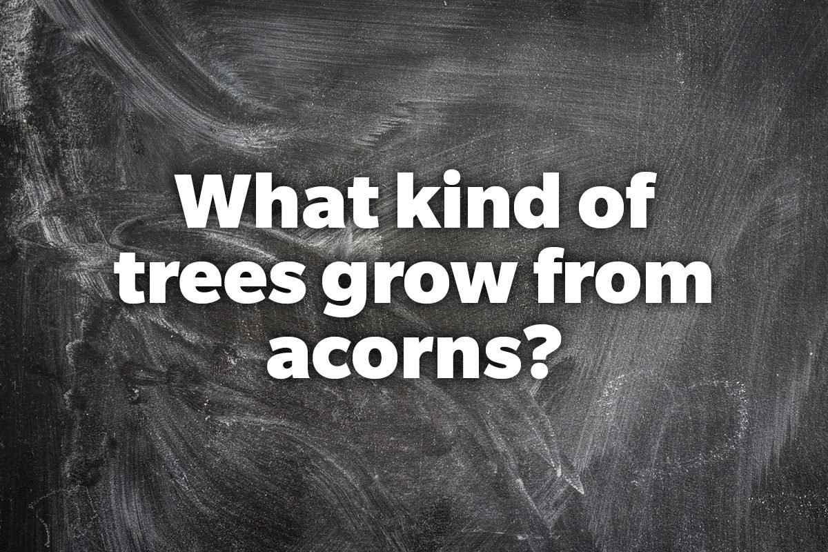 What kind of trees grow from acorns?