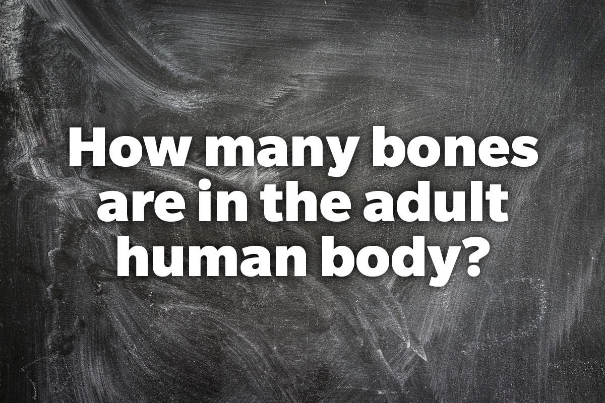How many bones are in the adult human body?