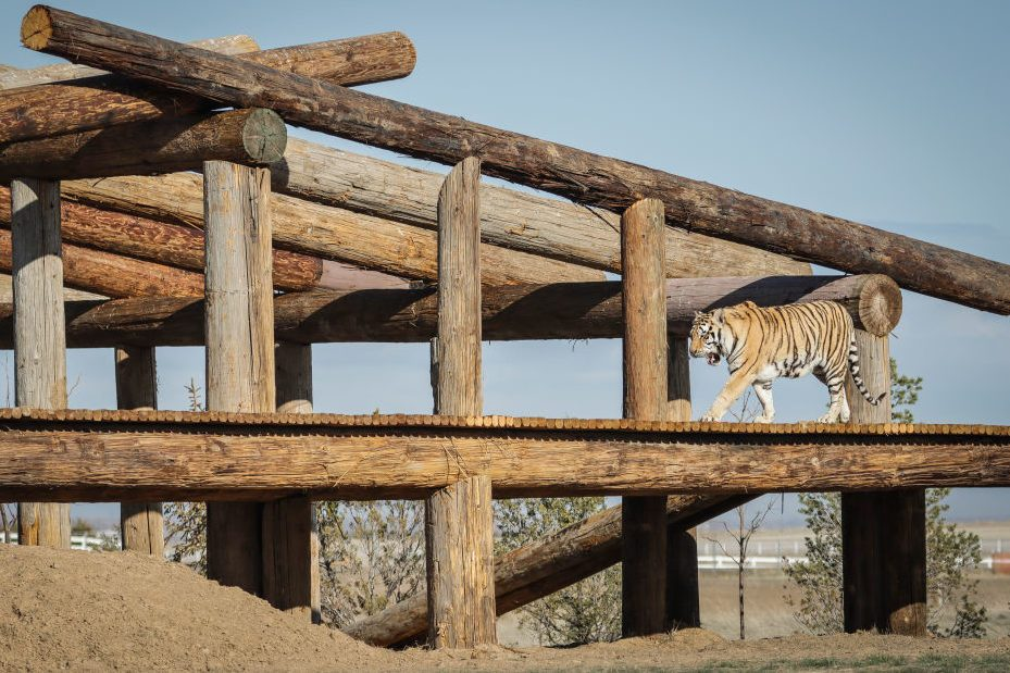 "Wild Animal Sanctuary In Colorado Home To Almost 40 Tigers From Wildly Popular Documentary Of Joe Exotic ""Tiger King"""