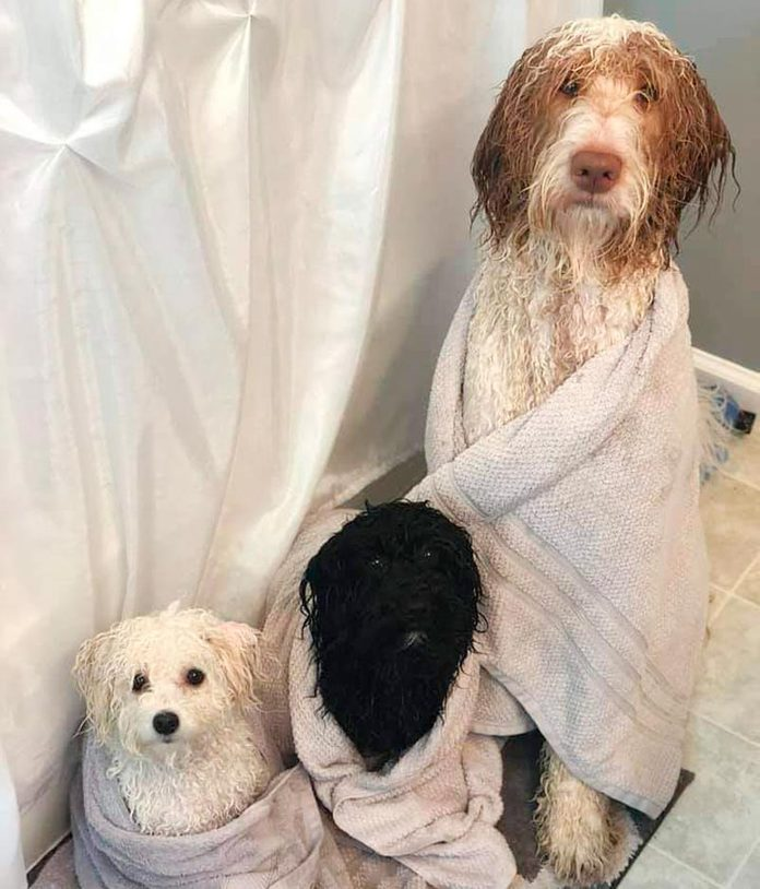 one large wet dog and two small wet dogs wrapped in towels in the bathroom