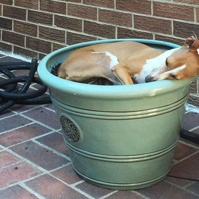 a medium sized dog sleeping in a large planter outside on a brick patio