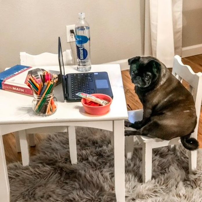 a small dog sits on a small chair at a small table with a laptop and other school supplies for a day of remote learning