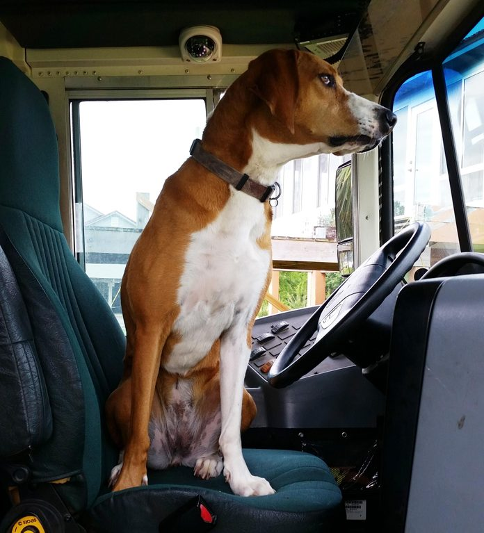 a dog sits in the driver's seat of a school bus