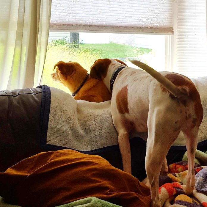 back view of two dogs sitting on the couch and looking out the window intently