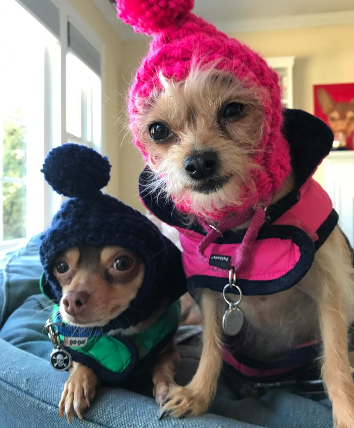 two small dogs sitting on the couch dressed to go out in cold weather with neck warmers and hats with pom poms on top