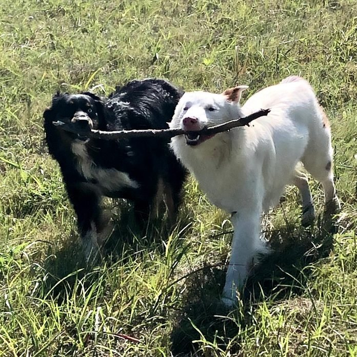 two dogs walk in the grass holding onto one stick