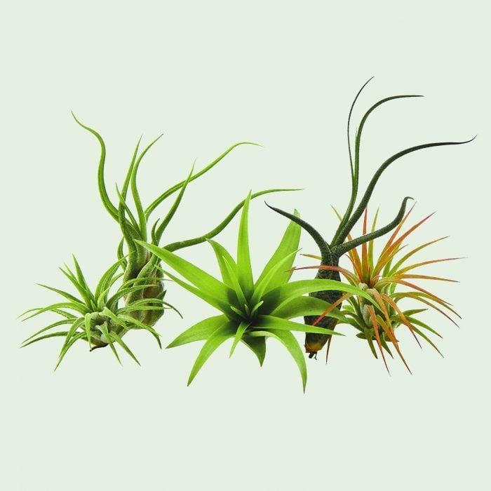 air plant that needs little natural light